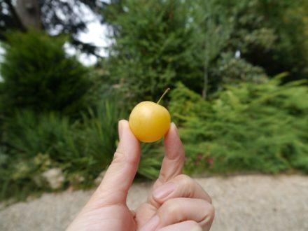 eut être le prune? mais il est un peu petit...