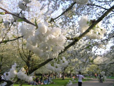 cerisier blanc @ Parc de Sceaux